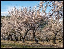 115 Amendoeiras preto de Moncorvo